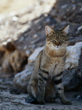 African Wildcat Photographic Print by Nicole Duplaix