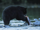Black Bear Eating Salmon Photographic Print by Joel Sartore