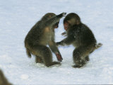 Two Juvenile Japanese Macaques, or Snow Monkeys, Play in the Snow Photographic Print by Tim Laman