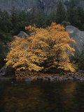 Autumn Foliage Decorates a Tree in Yosemite Photographic Print by Marc Moritsch