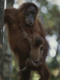 A Former Captive Orangutan and Her Baby, Which was Born in the Wild Photographic Print by Michael Nichols