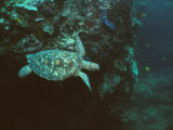 A Green Sea Turtle Swimming in a Reef Near Sipadan Island Photographic Print by Tim Laman