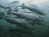 Atlantic Salmon, Salmo Salar, Swim in a Farm Pen Fotoprint van Bill Curtsinger
