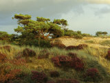 Heathland on the Island of Hiddensee in the East Sea Fotografisk tryk af Norbert Rosing