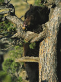 An American Black Bear Licks Ants off a Tree Limb Photographic Print by Norbert Rosing