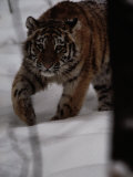 Siberian Tiger (Panthera Tigris Altaica) in the Snow Photographic Print by Michael Nichols