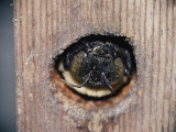 The Head of an Adult Carpenter Bee Appears Outside Her Nest Photographic Print by Robert Sisson