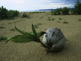 A Sprouting Coconut Lying on a Sandy Beach Photographic Print by Tim Laman