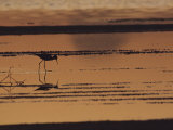 An Avocet Forages at Sunset Along the Waters Edge Photographic Print by Bill Curtsinger