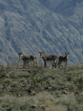 Group of Wild Burros in the Panamint Valley Photographic Print by Marc Moritsch