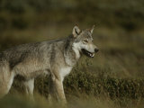 Portrait of a Wolf Photographic Print by Michael S. Quinton