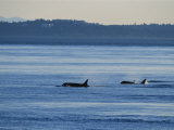 A Pod of Killer Whales, Orcinus Orca, Hunt and Swim in Calm Waters Photographic Print by Raymond Gehman