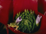 Tiny Frog Inside a Bromeliad Photographic Print by Paul Zahl