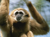 Close View of a White-Handed Gibbon Photographic Print by Joel Sartore