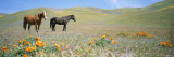Two Horses Stand Amid Blooming California Poppies in Foothills Fotografisk tryk af Rich Reid