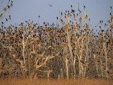 Cormorant Rookery, Wattenmeer National Park, Germany Photographic Print by Norbert Rosing