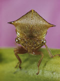 Close View of a Treehopper Photographic Print by Paul Zahl
