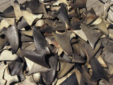 Shark Fins Photographic Print by Steve Winter