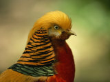 Close View of a Golden Pheasant Photographic Print by Joel Sartore