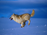 Arctic Wolf Runs in Snow, Canis Lupus Arctos Photographic Print by Lynn M. Stone