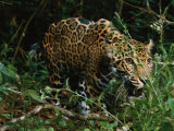 A Jaguar on the Prowl Photographic Print by Steve Winter