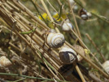 Snails Cling to Plant Stems Photographic Print by Joe Scherschel