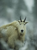 Portrait of a Male Rocky Mountain Goat Photographic Print by Michael S. Quinton