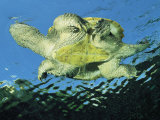 A Common Snapping Turtle Swimming in Water Photographic Print by George Grall