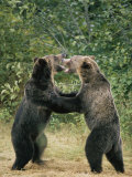 Two Grizzly Bears Have a Playful Fight Photographic Print by Tom Murphy