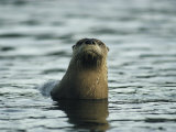A River Otter Pokes its Head Above Water to See What is Going On Photographic Print by Michael S. Quinton