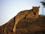 A Leopard, Panthera Pardus, Rests on a Large Tree Limb Photographic Print by Beverly Joubert