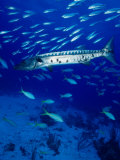 A Barracuda in Natural Habitat, Virgin Islands (UK) Photographic Print by Greg Johnston