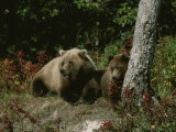 An Alaskan Brown Bear and Her Cub at Rest on the Edge of a Wood Photographic Print by Roy Toft