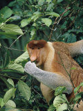 A Male Proboscis Monkey Feeds on Leaves Photographic Print by Tim Laman