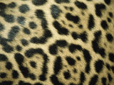 Close View of Jaguar Fur Markings Photographic Print by Jason Edwards