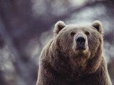 Portrait of a Kodiak Brown Bear in Larson Bay, Alaska Lámina fotográfica por Sartore, Joel