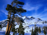 Ancient Limber Pines with Snowy Mountain Behind Sequoia National Park, California, USA Photographic Print by Rob Blakers
