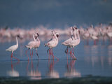A Group of Greater Flamingos Wade in the Shallow Water of Lake Nakuru Photographic Print by Roy Toft
