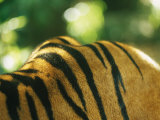 Sumatran Tiger Back and Shoulder Stripes Photographic Print by Jason Edwards