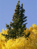 A Conifer Tree Towers Above Aspens in Fall Foliage Photographic Print by David Edwards