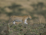A Leopard Walks Along a Rocky Ledge in Masai Mara National Reserve Photographic Print by Roy Toft