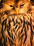 Owl (Order Strigiformes), USA Photographic Print by John Hay