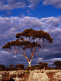 Eucalypt (Eucalypt Sp.) or Gum Tree in Scrub, Nullarbor Plain, Australia Photographic Print by Diana Mayfield