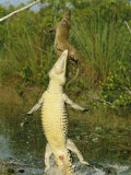 A Cuban Crocodile Leaps from Water to Grab a Hutia Set out as Bait Photographic Print by Steve Winter