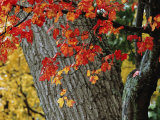 Bright Red Maple Leaves against an Oak Trunk Photographic Print by Tim Laman