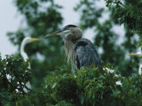 A Great Blue Heron Sits in a Treetop Near a Flock of Great Egrets Photographic Print by George Grall