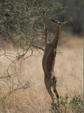 A Gerenuk Stands on its Hind Legs to Feed from the Top of a Bush Photographic Print by Roy Toft