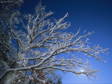 Fresh Snowfall Blankets Tree Branches Viewed against the Blue Sky Photographic Print by Tim Laman