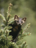 A Pine Marten (Martes Martes) Watches from the Top of a Tree Photographic Print by Tom Murphy
