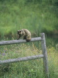 A Pet Cat Walking Along a Wooden Fence Photographic Print by Bill Curtsinger